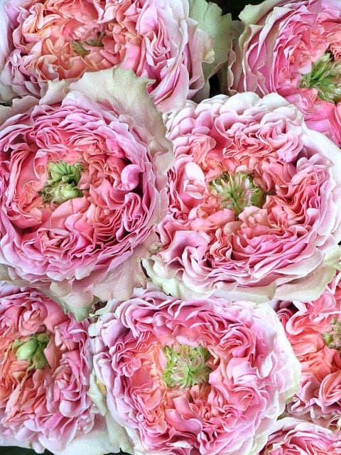 Пионовидные розы Гудини (Houdini)